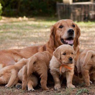Canine-Maternal-Instincts